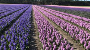 Hyacinten in volle bloei